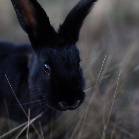 close up portrait of a black rabbit.