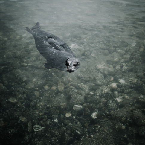 portrait of a harbour seal swimming in shallow water.