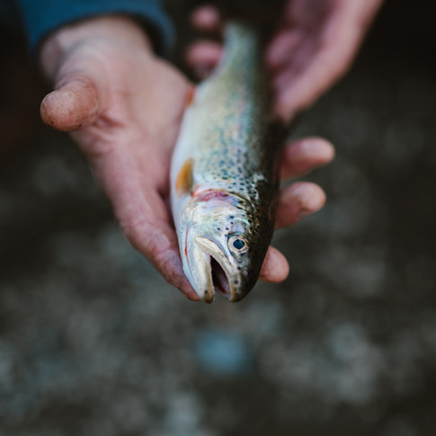 a close up of a trout  sitting in a mans hands.