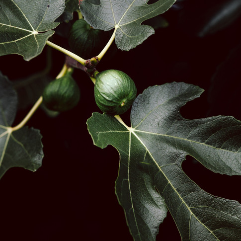 close up portrait of an unripe fig on a figtree surrounded by fig leaves.