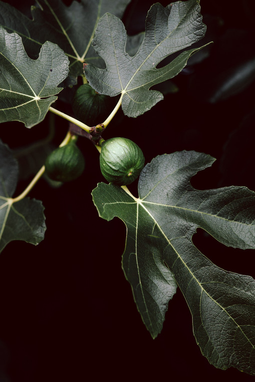 a closeup image of an unripe fig next to fig leaves.
