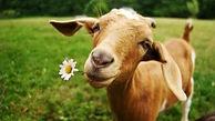 Goat foto.jpg