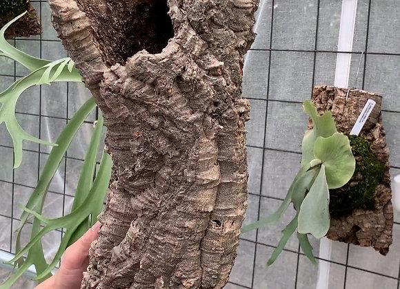 Virgin Cork Bark コルク樹皮チューブ型⑦