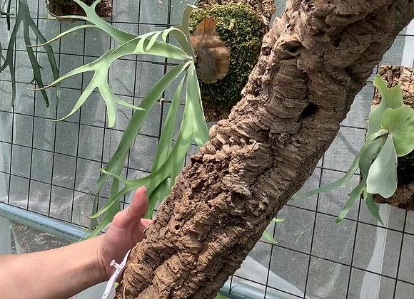 Virgin Cork Bark コルク樹皮チューブ型⑤
