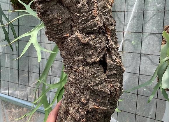 Virgin Cork Bark コルク樹皮チューブ型⑥