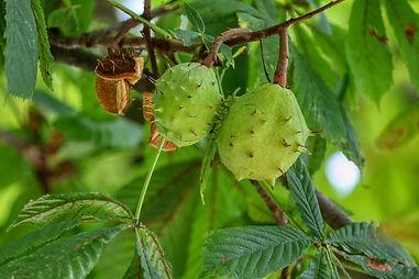 chestnut-4505731_1920.jpg