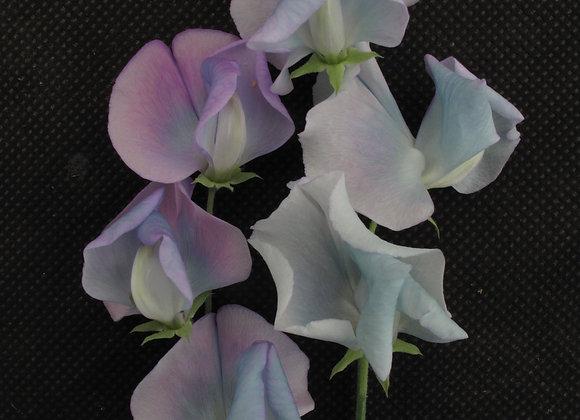 Sweet Pea 'Turquoise Lagoon'   - 25 Seeds