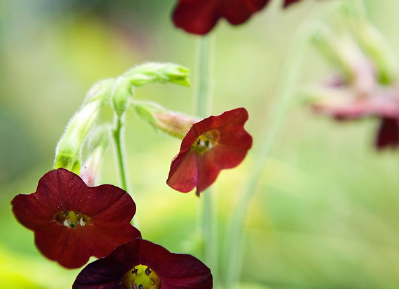 Nicotiana x 'Hot Chocolate'