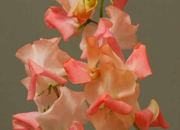 Sweet Pea 'Candyfloss'  - 25 Seeds