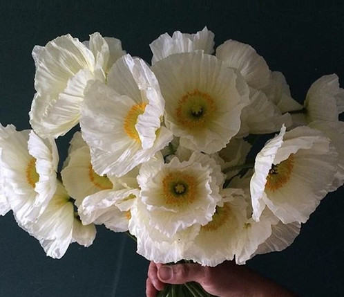 Colibri icelandic poppies 100 seeds unicorn blooms canada sweet icelandic poppy seeds stored dry and sealed in a refrigerator can be kept up to 4 years without significant loss of viability mightylinksfo Gallery