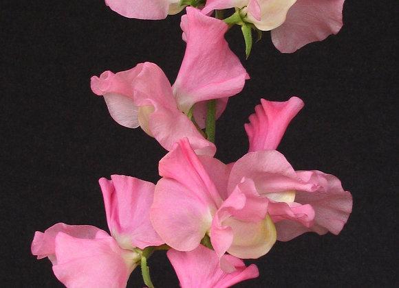 Sweet Pea 'Pink Nines' - 25 Seeds
