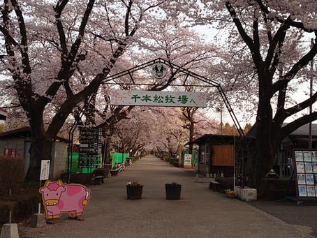 千本松牧場桜満開