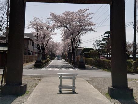 乃木神社桜満開