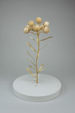 Dwarf everlast, helichrysum arenarium