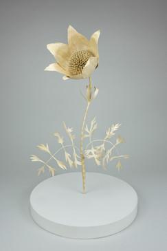 Pasque flower, pulsatilla vulgaris