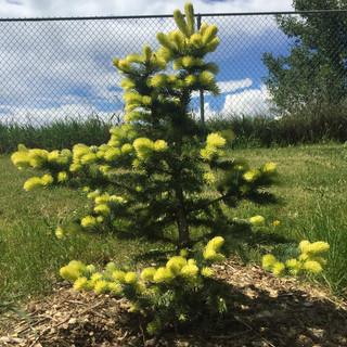 Gebelle's Golden Spring Spruce.JPG