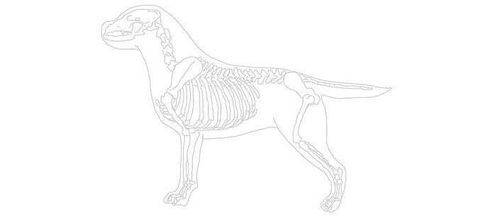 Canine%20Skeleton_edited.jpg