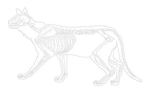 Feline%20Skeleton%20Outline_edited.jpg
