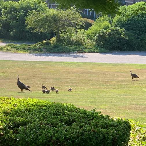 Wild turkeys in front yard