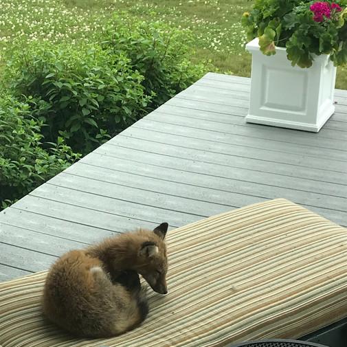 Fox on neighbor's porch