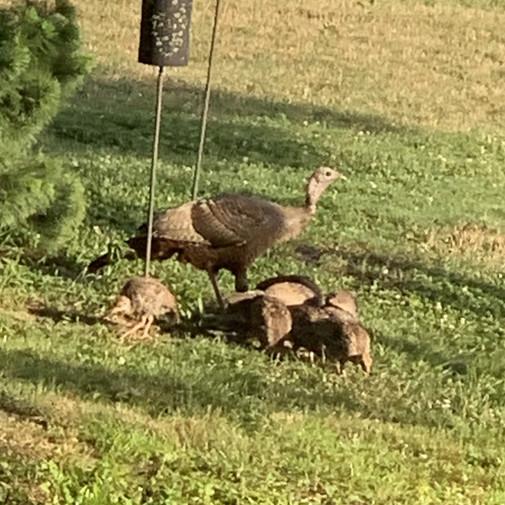 Turkeys under the feeder