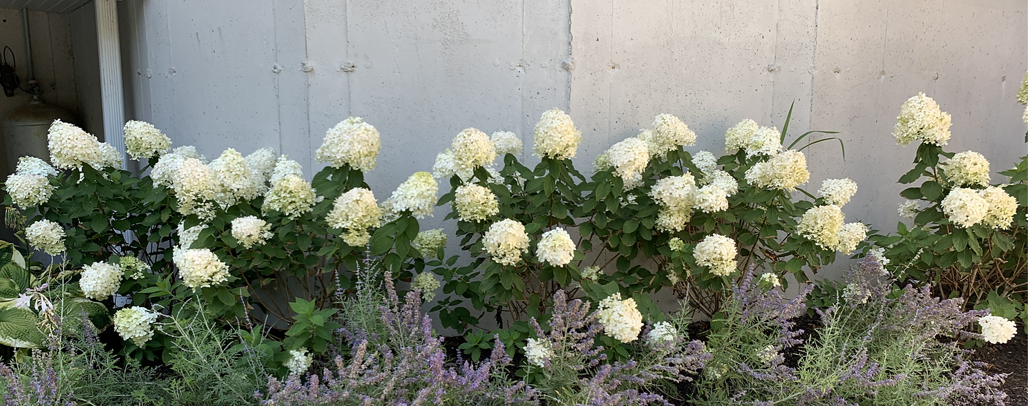 White%20Hydrangeas%20border_edited.png