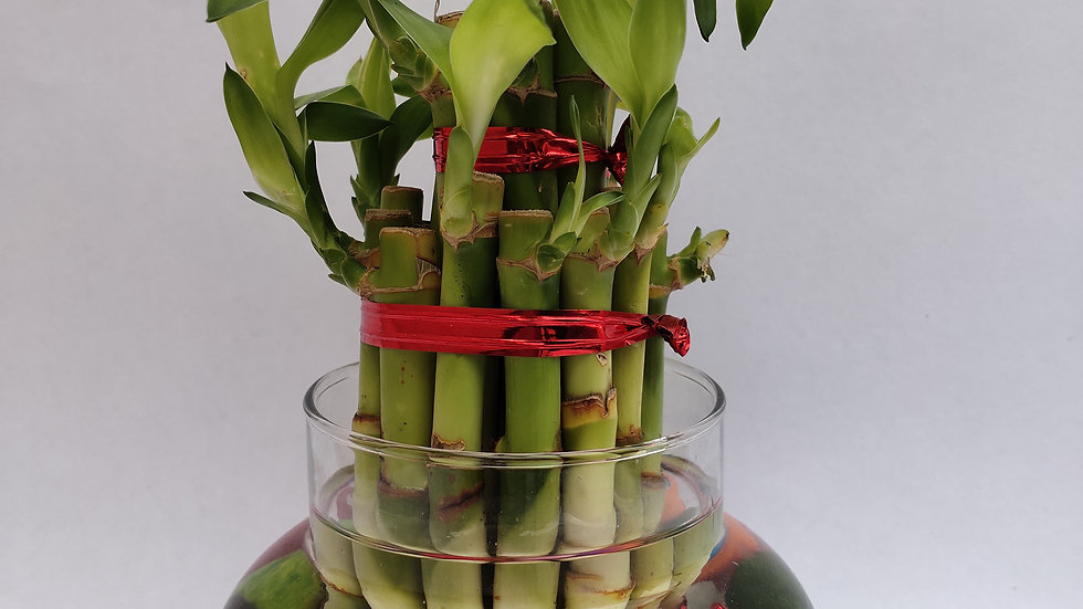 Lucky bamboo 2 layer plant with colorful pebbles