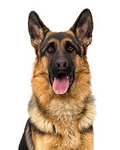 portrait of a German shepherd dog on a w