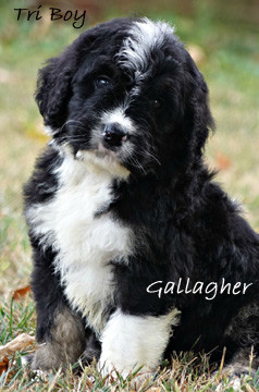 Gallagher puppy bernedoodle.jpg