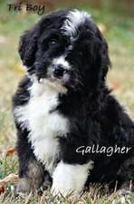 Gallagher puppy bernedoodle.jpg