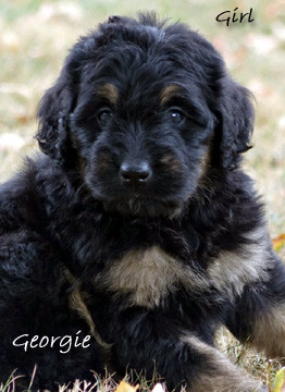 Georgie Bernedoodle pup for sale.jpg