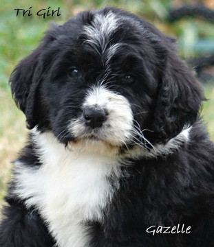 Gazelle tri bernedoodle puppy for sale.j