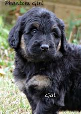 Gal bi Bernedoodle pup for sale.jpg