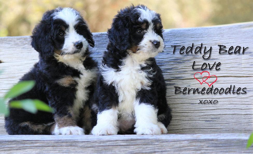 Teddy Bear Love Bernedoodles xoxocopyhea