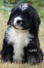 Gabi  Bernedoodle  pup for sale.jpg