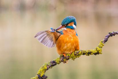 Kingfisher Preening 5