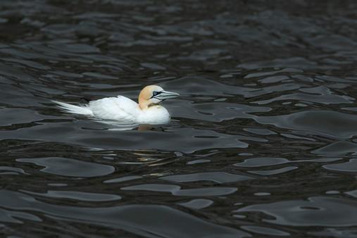 Gannet resting