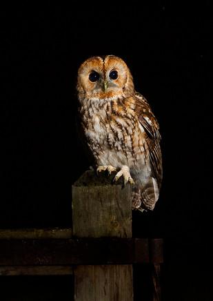 Tawny Owl on gate-3