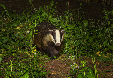Young badger exploring territory