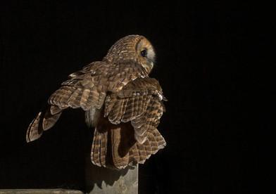 Tawny owl landing on gate - 2