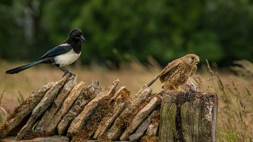 That Magpie again!