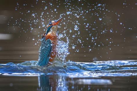 Kingfisher Emerging from dive 5