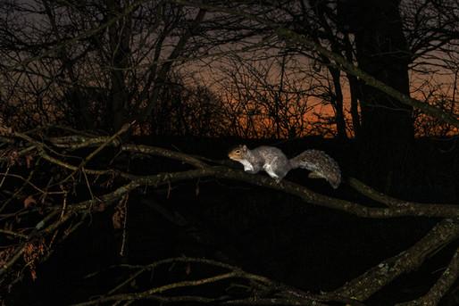 Grey Squirrel in the dawn light