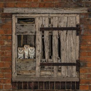 Juvenile owls