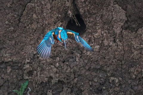 Kingfisher in flight 5