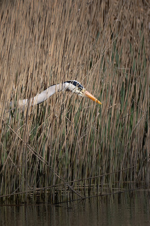 Searching through the reed bed
