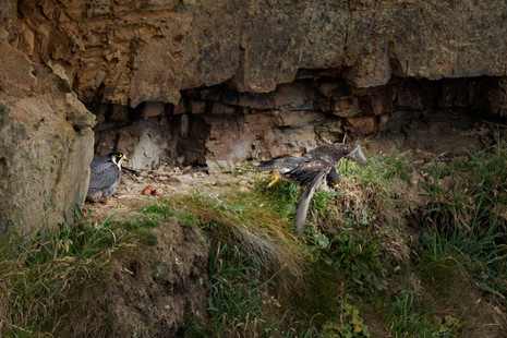 Peregrines - changeover time 2