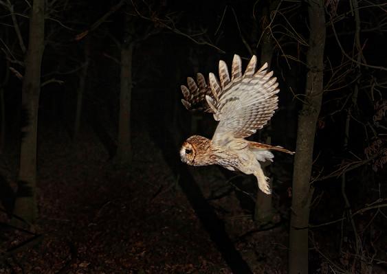 Tawny in flight - 4