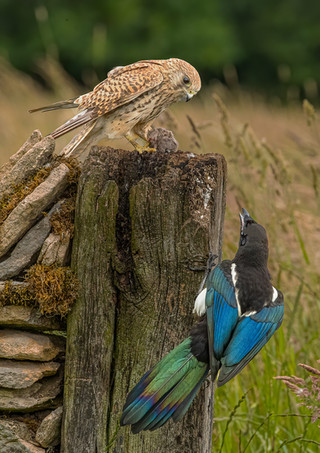 Kestrel protecting catch from Magpie