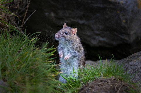 Grey rat 2